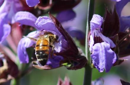 Pollinisateur sur sauge