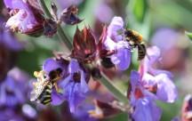 Pollinisateurs sur sauge