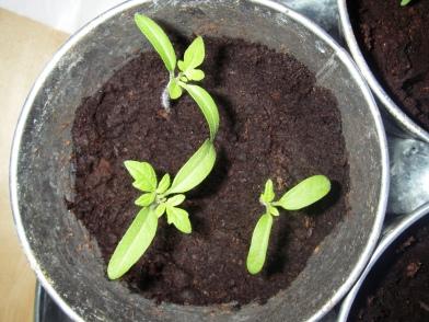 Plant de tomates avec cotylédon