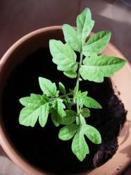 Petit plant de tomate