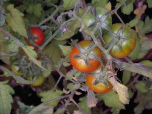 Tomates sur plante