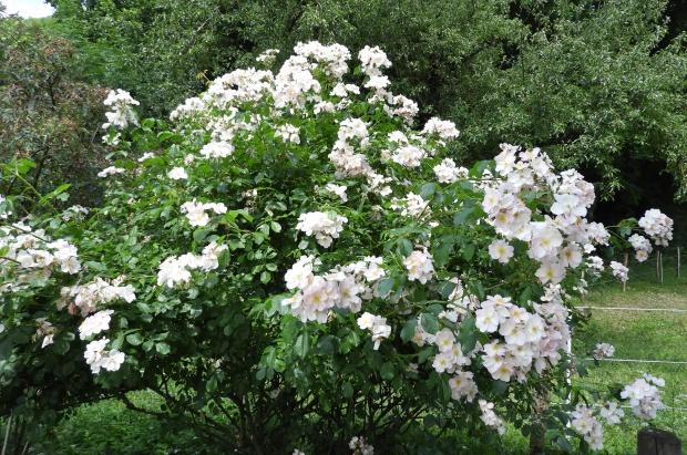 arbuste de roses