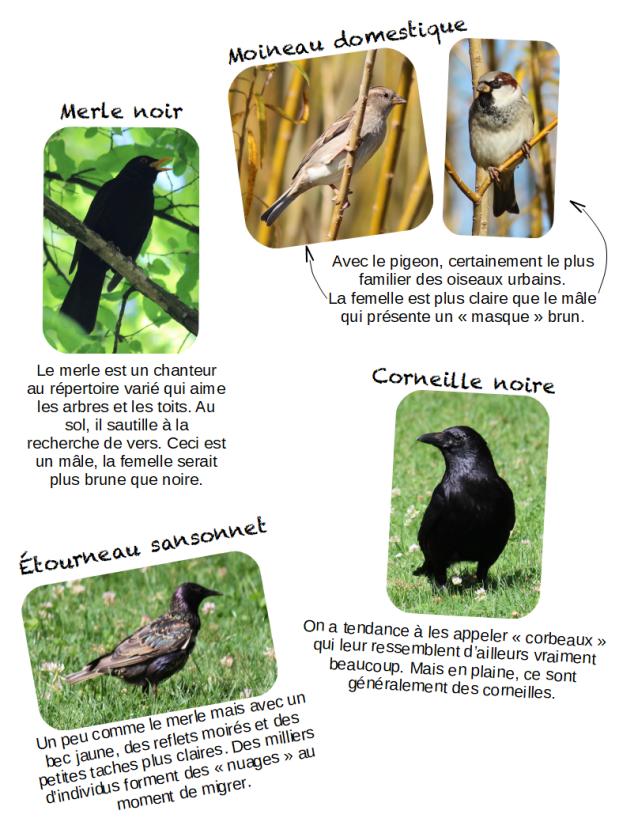 oiseauxprèsdecheznous1