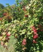Viorne obier