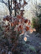feuilles de hêtre