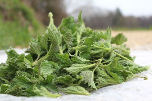 jeunes feuilles d'orties