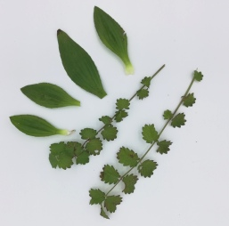 feuilles de plantain et pimprenelle