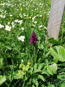 orhidée sauvage
